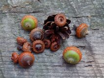 Acorns with an oak tree on a wooden surface. Closeup royalty free stock image