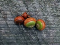 Acorns with an oak tree on a wooden surface. Closeup stock image