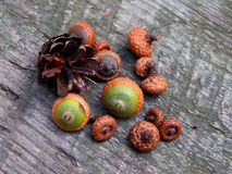 Acorns with an oak tree on a wooden surface. Closeup royalty free stock images