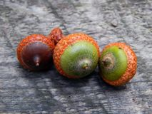 Acorns with an oak tree on a wooden surface. Closeup royalty free stock photography