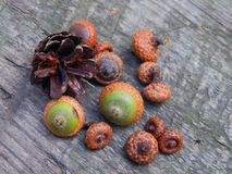 Acorns with an oak tree on a wooden surface. Closeup royalty free stock photo