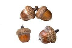 acorns odizolowywali biel Zdjęcia Stock
