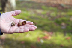 Acorns on the palm Royalty Free Stock Images