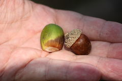 Acorns in the palm of the hand Stock Photos