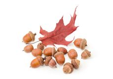 Acorns and red oak leaf on a white background. Several ripe acorns, some of which in their cuplike cupules and autumn red oak leaf on a white background royalty free stock photography