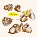 Acorns Stock Image