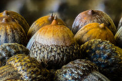 Acorns. Several acorns one beside each other Stock Photos