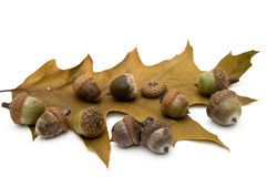 Acorns and sheet of oak. Stock Photos