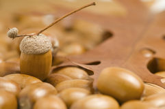 Acorns soft focus Royalty Free Stock Photos
