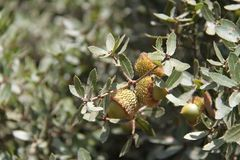 Acorns. Some Acorns, Oak Nuts, on an Oak tree branch Royalty Free Stock Photography
