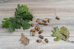 Acorns. Some acorns on a wooden table stock image