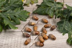 Acorns. Some acorns on a wooden table stock photo