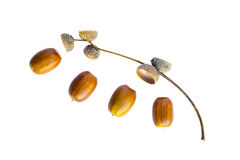Acorns and sprig Stock Photography