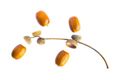 Acorns and sprig Royalty Free Stock Photography