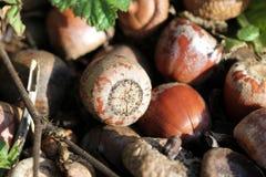 Acorns texture Stock Photo
