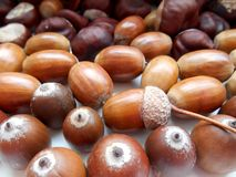 Acorns texture background. Acorns texture beautiful solor background Royalty Free Stock Photography