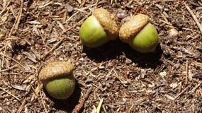 Acorns. Three green acorns on the ground Stock Photography