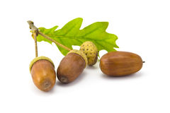 Acorns. Three acorns and oak leaf isolated on white background Stock Image