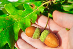 Acorns tree Stock Photos