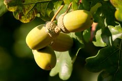 Acorns on a tree Stock Image