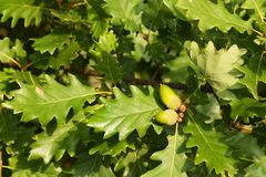 Acorns on tree Stock Image