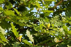 Acorns on tree Royalty Free Stock Image