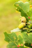 Acorns on tree Stock Photo