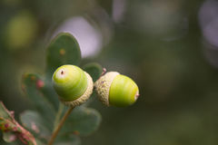 Acorns in tree Royalty Free Stock Photo
