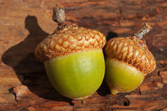 Acorns. Two natural acorns close-up Stock Photos