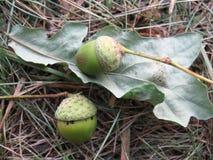 Acorns. Two acorns on an oak sheet, autumn forest Stock Photos