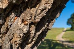 Acorns in valley oak tree Stock Photo