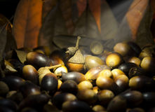 Acorns. This was a still I created using some Backlighting Stock Image