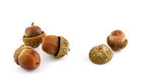 Acorns on white background Stock Photo