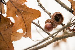 Acorns in the winter forest Stock Image