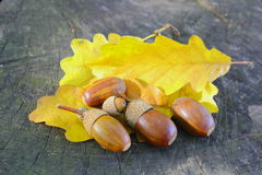 Acorns on yellow leafs Royalty Free Stock Image