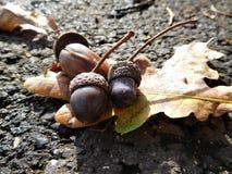 Acorns z kolorowym liściem na drodze Fotografia Stock