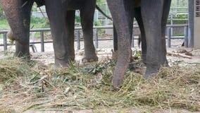 Acorrentado à terra com o elefante chain que come a grama com um tronco filme