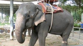 Acorrentado aos elefantes indianos à terra com assentos para turistas sobre para trás vídeos de arquivo