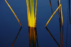 Acorus calamus. Are in the water with sunny Stock Photography
