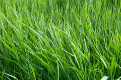 Acorus cane. Green grass acorus cane in windy weather Royalty Free Stock Image