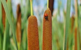 Acorus, cattail en lieveheersbeestje Stock Foto