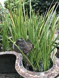 Acorusgemeiner kalmus oder Gras des gemeinen Kalmus oder Myrtes oder süße Wurzelblume Stockfoto