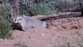 Acose la excavación alrededor en suelo flojo cerca de una cerca vieja en el desierto del sudoeste almacen de metraje de vídeo