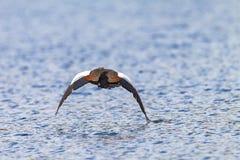 Acqua bassa di volo dell'uccello dell'oca Fotografie Stock Libere da Diritti