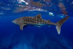 Acqua blu dello squalo balena Immagine Stock