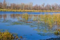 Acqua blu e canne gialle Immagine Stock