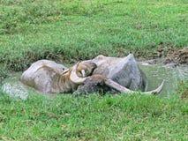 Acqua in bufalo Fotografie Stock Libere da Diritti