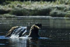 Acqua che spruzza orso grigio Fotografie Stock