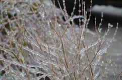 Acqua congelata sul cespuglio Fotografia Stock