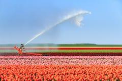 Acqua del tulipano Fotografia Stock